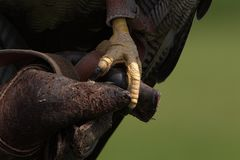 Owls claw Stock Photo