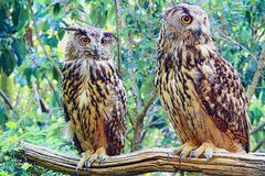 Owls Couple. A couple of royal owls on a branch waiting for the prey Stock Image