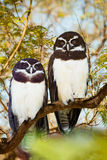 Owls couple. Spectacled Owls couple on tree at  forest Royalty Free Stock Photography