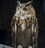 The Owls. Royalty Free Stock Image