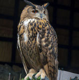 The Owls. Royalty Free Stock Photos