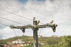 3 owls. During the day resting on a high voltage wire Stock Photo