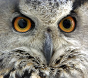 Owls eyes. Full face shot of a Eagle Owl stock photography