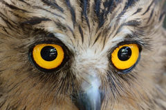 Owls eyes Stock Photos