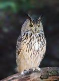 owls för buboörneurasian Royaltyfri Bild