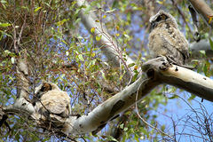 Great Horned Owls Royalty Free Stock Images