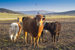 Oxen. Is a group of oxen in the field Royalty Free Stock Photo