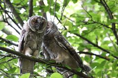 Owls kissing on the cheek. Couple of long eared owls sitting on a tree branch. One owl kisses the other on the cheek Royalty Free Stock Image