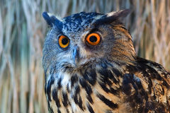 Owls with a large orange eyes. Stock Photos