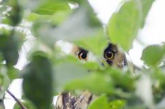 Owls look through the foliage Royalty Free Stock Photo