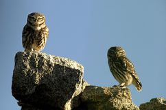 Owls looking on the wall. Two owls looking on the wall Stock Images