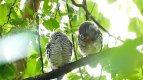 Owls in nature. stock video footage