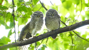 Owls in nature. stock video