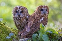 owls parar tawny Arkivbilder