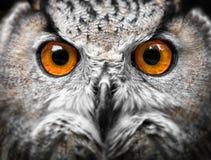Owls Portrait. eyes Stock Image