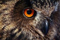 Free Owls Portrait. Owl Eyes. - Image Royalty Free Stock Photos - 136855518