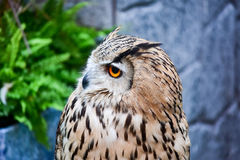 Owls Portrait Side view Royalty Free Stock Image