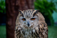 Owls Portrait Royalty Free Stock Photography