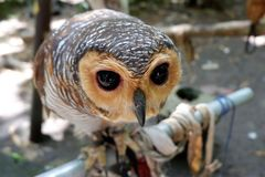 owls are rare with beautiful eyes that live in the wild stock images