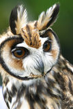 Owls (rhinoptynx clamator) Royalty Free Stock Image