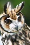 Owls (rhinoptynx clamator). A horned owls (Rhinoptynx clamator Royalty Free Stock Image