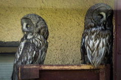 Owls in a Russian zoo. Owls (lat. Strigiformes, Striges, or) — detachment of birds of prey, including more than 420 of large and medium-sized species, mostly Stock Images