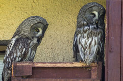 Owls in a Russian zoo. Owls (lat. Strigiformes, Striges, or) — detachment of birds of prey, including more than 420 of large and medium-sized species, mostly Royalty Free Stock Images