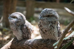 Owls sitting on a branch Royalty Free Stock Photo
