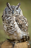 Owls sleep during the day. Stock Photography