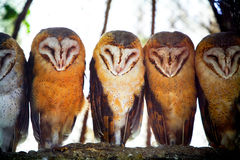 Owls on tree branch. A front view of five barn owls with characteristic heart shaped faces standing on a tree branch Stock Image