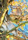 Owls. On the tree. Owl hunts tree Royalty Free Stock Photos