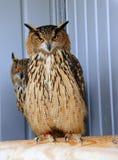 owls två royaltyfria foton