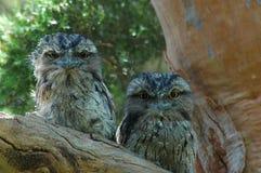 owls två Arkivfoton