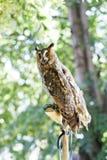 owls två arkivfoto