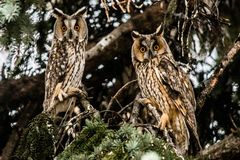owls tv? arkivfoton