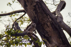 Owls. Two owls during magic hour in Jaipur Stock Photography