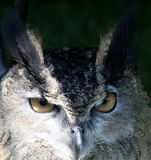 An Owls Wise Eyes Stock Photos