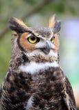 owlsamtal Arkivfoto