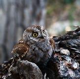 owlscops Arkivbild