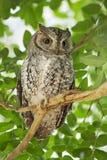 owlscops Royaltyfri Bild