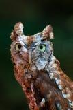 owlscreech Arkivfoton