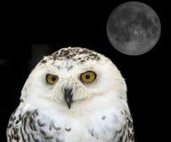 owlsnow Royaltyfri Foto