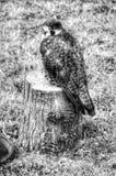 Owlsomeness Fotografia Royalty Free