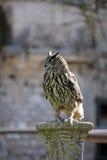owlspärrhakesitting Arkivfoton