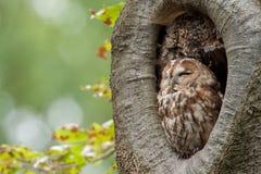 owltawny Royaltyfri Foto