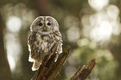owltawny Royaltyfria Foton
