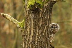 owltawny Royaltyfri Bild