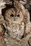 owltawny Arkivfoto