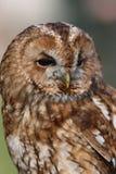 owltawny Royaltyfria Bilder
