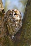 owltawnytree Arkivfoton